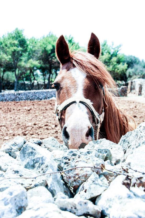 Pony curioseando por encima del muro de piedra seca.