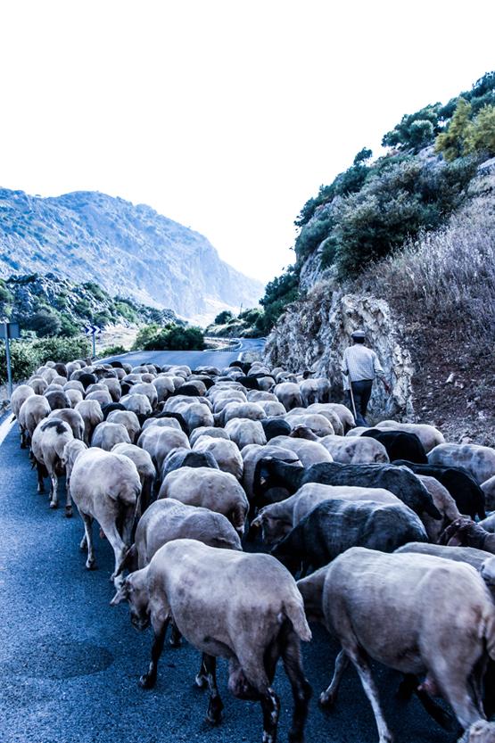 De camino al hotel, un pastor con perros y sus ovejas de Grazalema.
