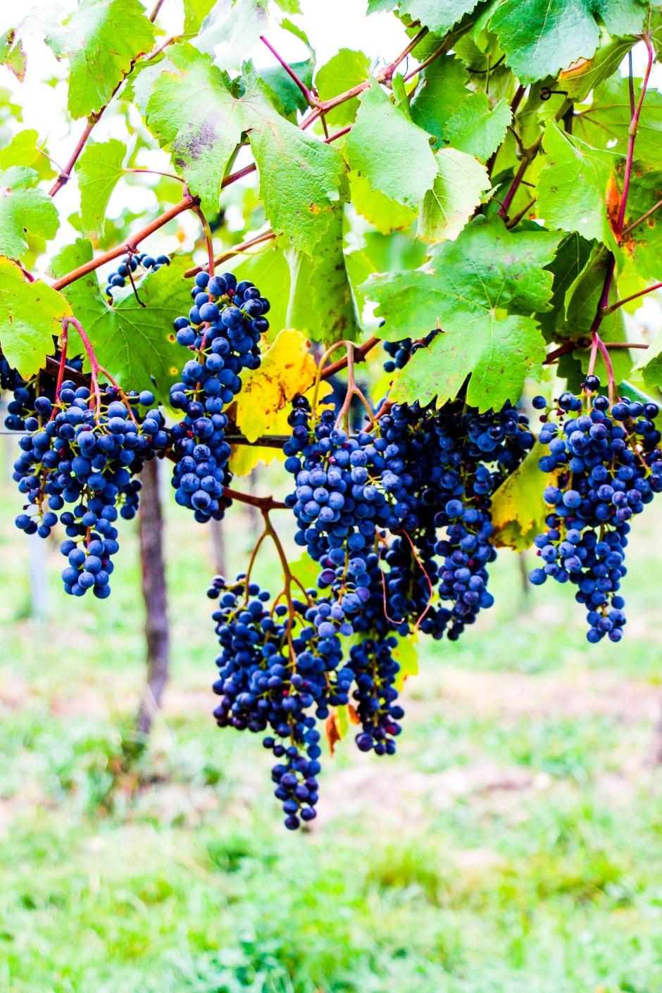 Paseando por los viñedos vieneses.