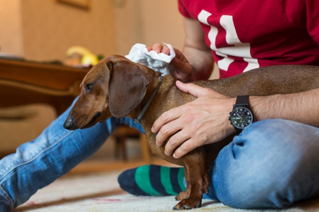 Limpiando a Eros con sus toallitas húmedas después de pasear.