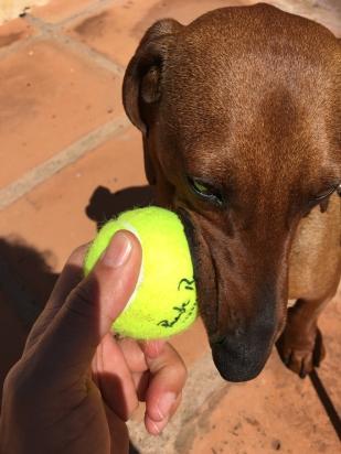 Eros se ha ganado una pelota del Club de Tenis.
