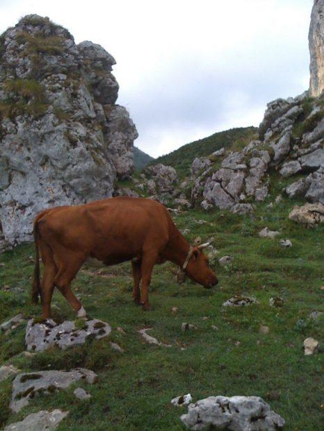 Vaca de raza asturiana.