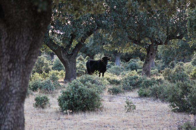 Vaca avilesa entre encinas.