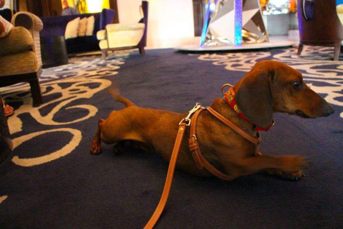 Eros adora las alfombras, se pone muy contento.