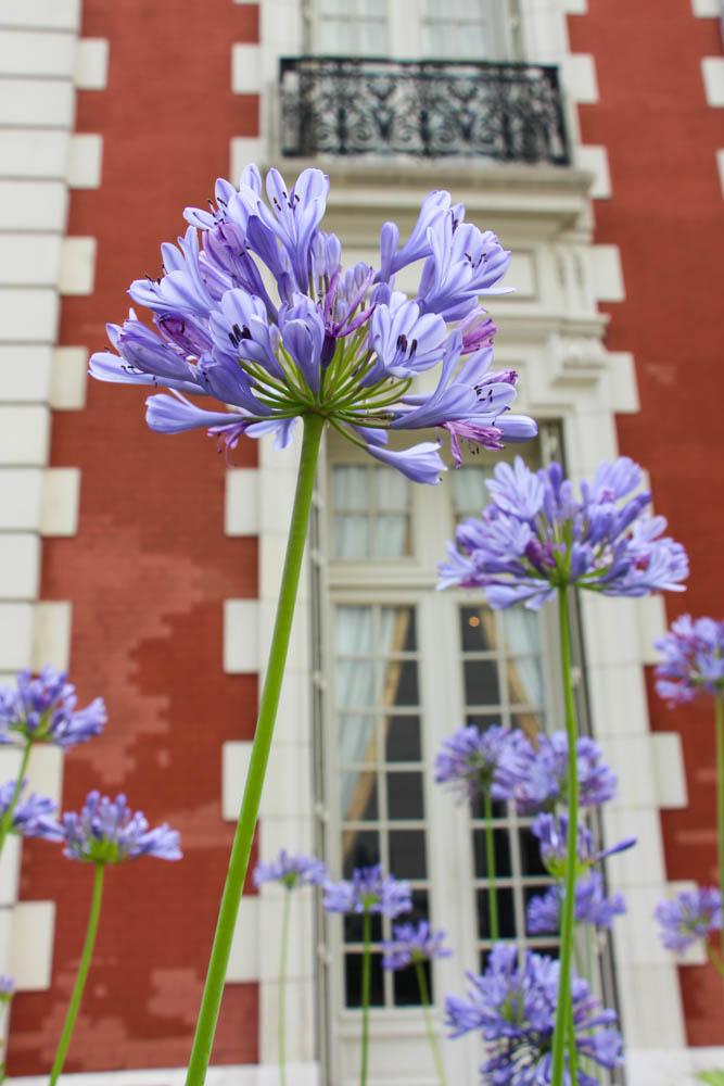 Agapanthus (Sudáfrica), una flor y un color característico del paisajísmo en Buenos Aires.