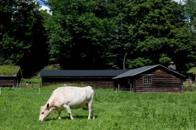 Vaca feliz pastando por el museo.