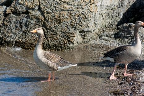 Gansos acuden a recibir a Eros en la playa Huk.