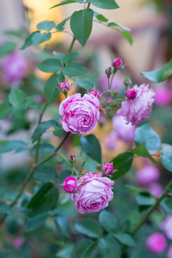 Rosas del jardín de la casa Forgen Manor.